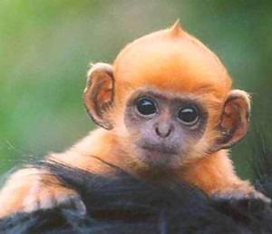 Baby_ginger_monkey